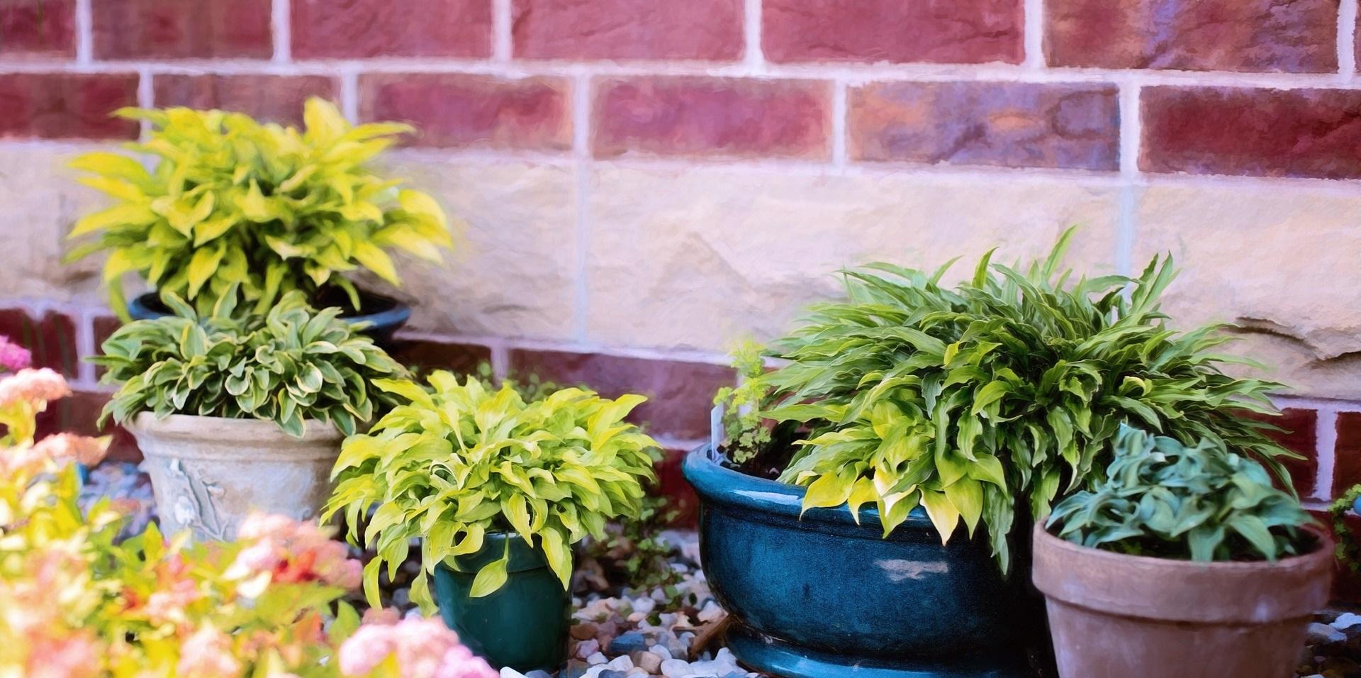 Drought-resistant plants in pots